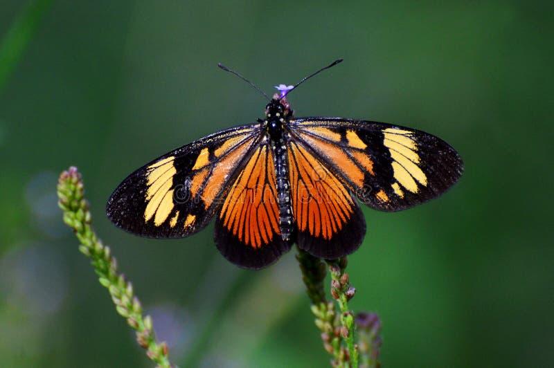 Бабочка монарха Анд Венесуэлы стоковые фотографии rf
