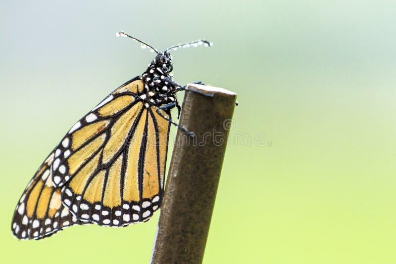Бабочка монарха в дожде стоковая фотография