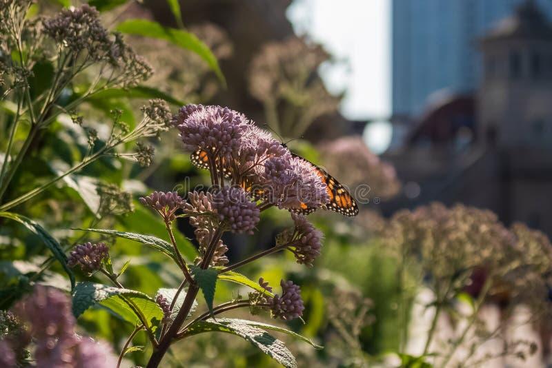 Бабочка монарха в переднем плане сидя на цветке milkweed в городском Чикаго стоковая фотография rf