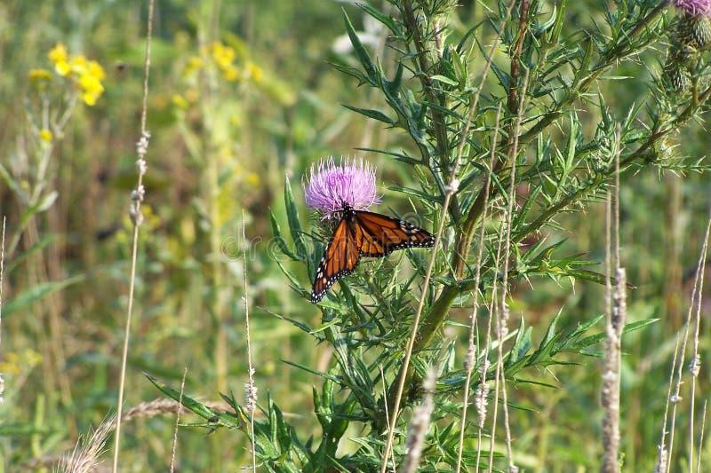 Бабочка монарха, горы Shenandoah, Вирджиния стоковые фото