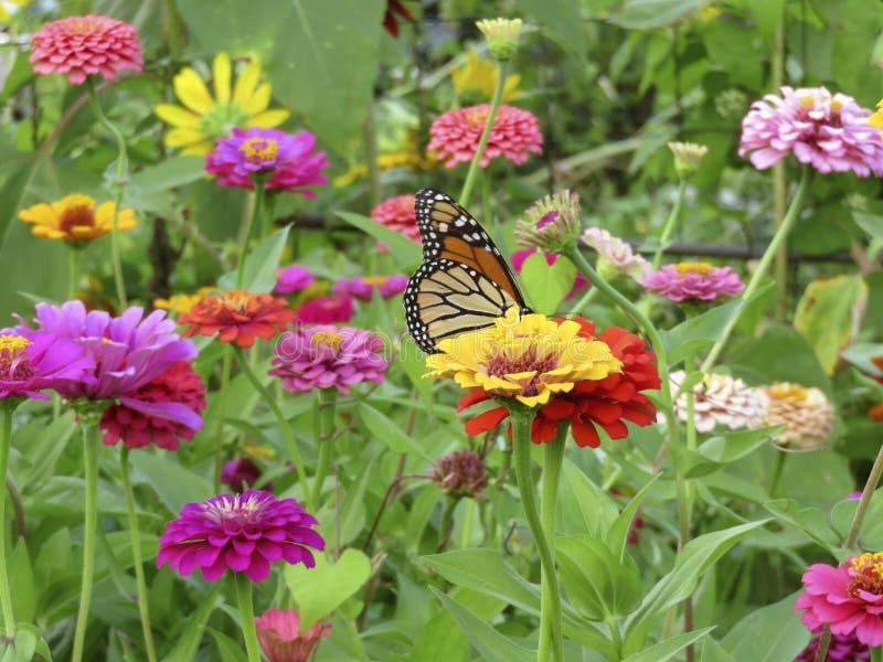 Бабочка монарха лета в саде Zinnia стоковые изображения