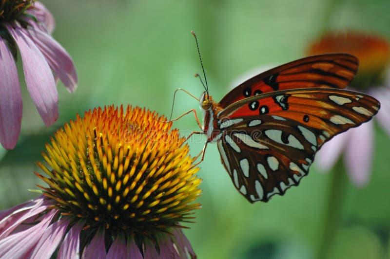 Бабочка монарха на фиолетовом заводе эхинацеи стоковое фото