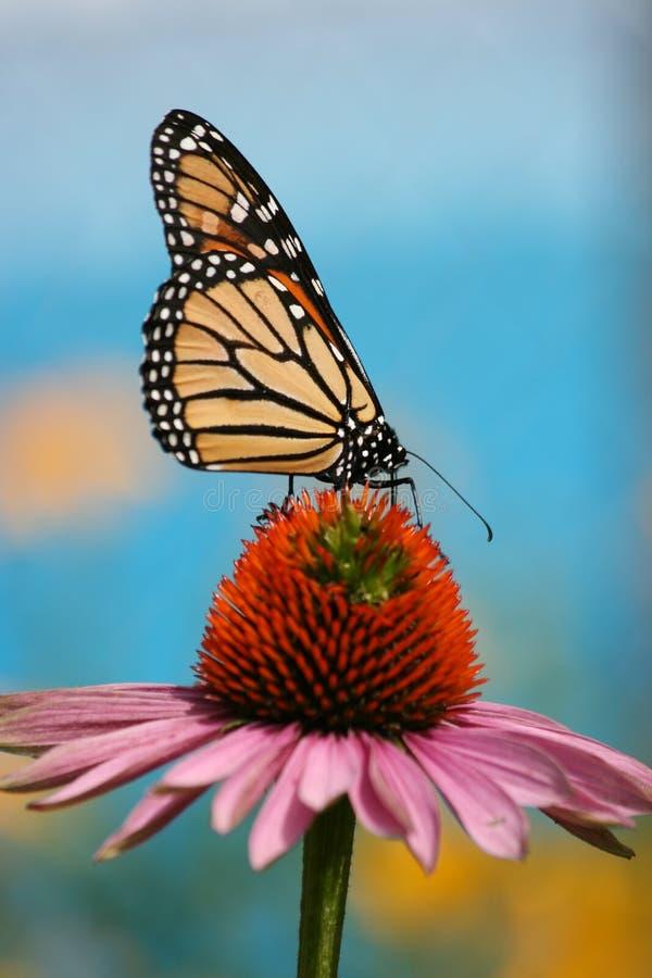 Бабочка монарха на coneflower стоковые фото