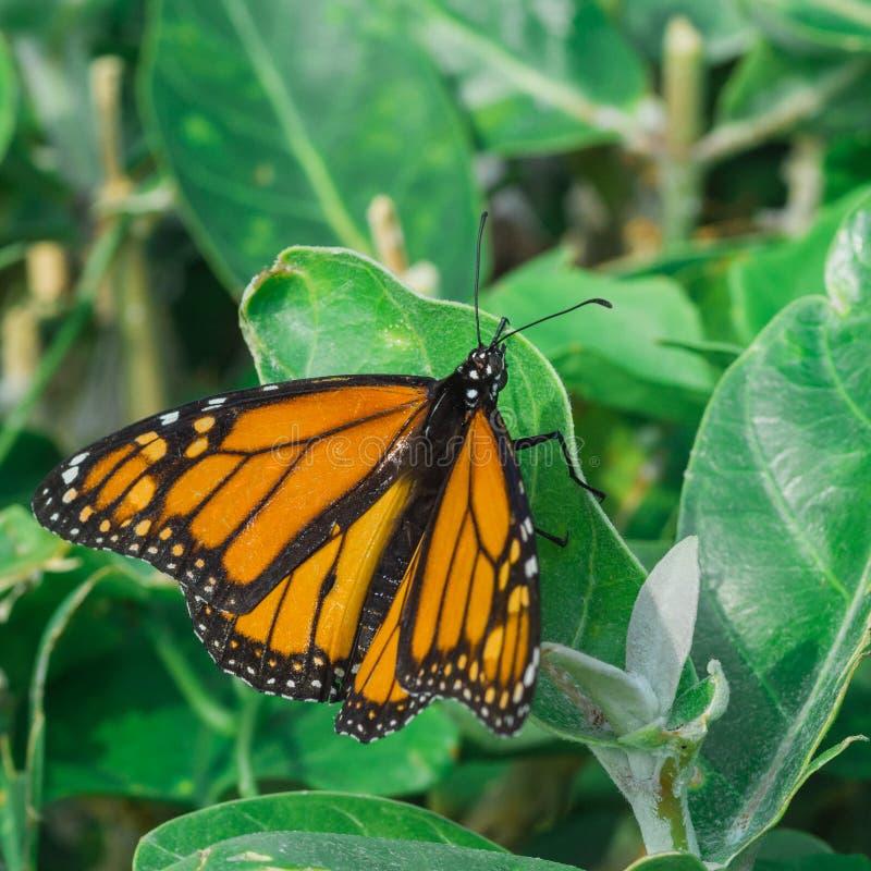 Бабочка монарх на листьях стоковые фото