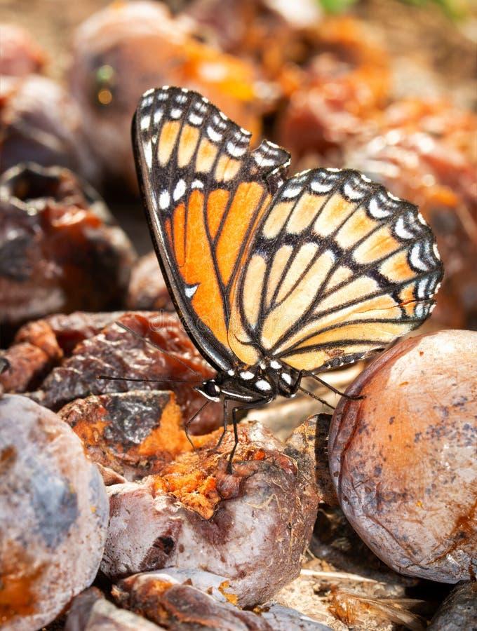 Бабочка наместника питаясь на заквашивать плоде хурмы стоковая фотография rf