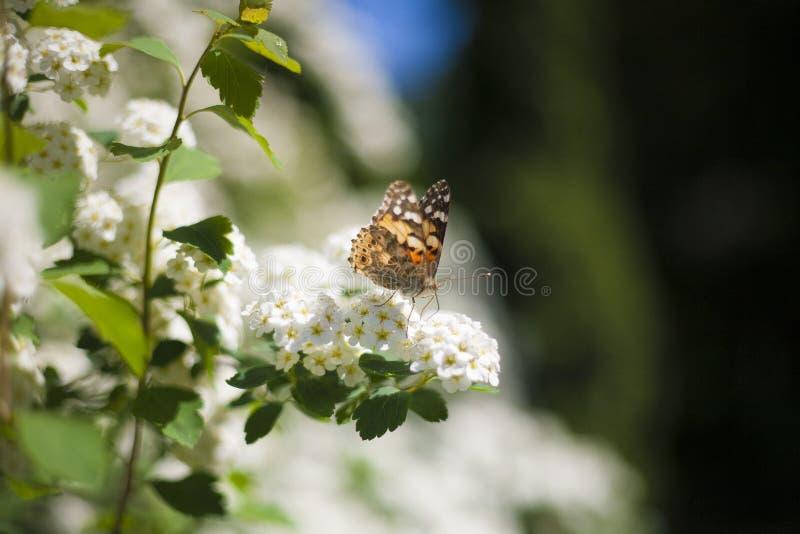 Бабочка на белых цветках стоковая фотография