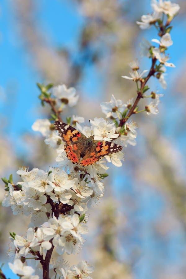 Бабочка на ветви дерева Сакуры стоковое изображение rf