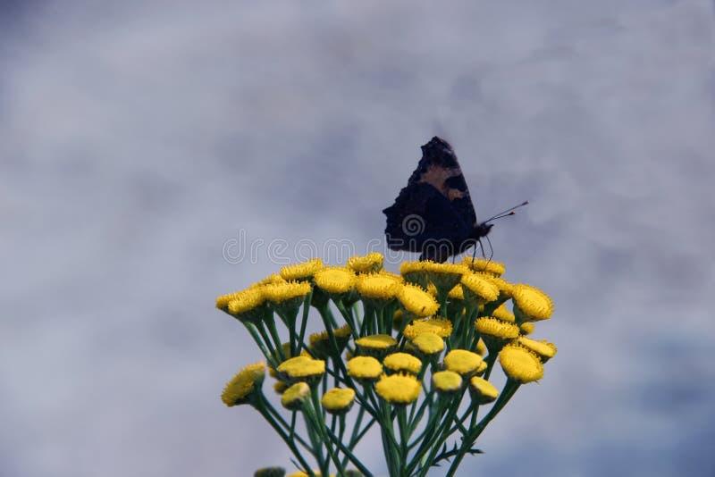 Бабочка на желтом цветке стоковые фотографии rf