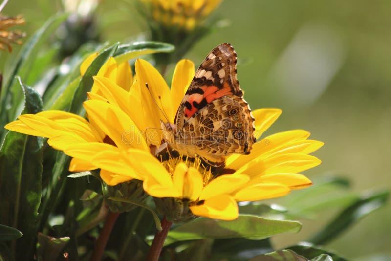 Бабочка на маргаритке стоковые изображения rf
