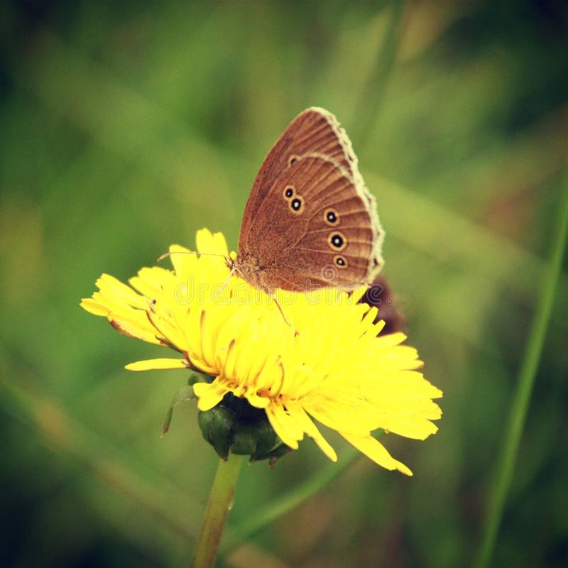 Бабочка на одуванчике стоковые фотографии rf