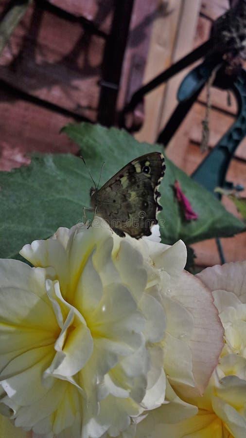 Бабочка на Розе стоковые фото