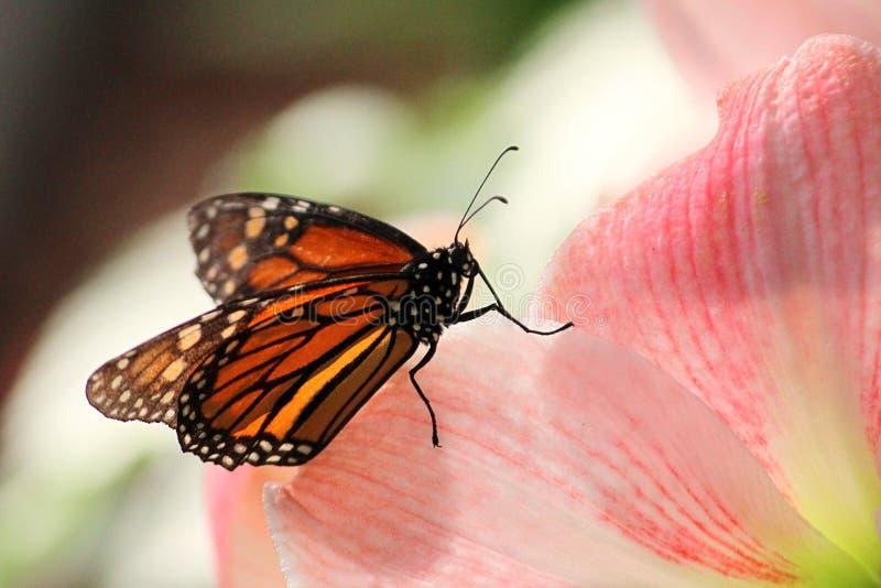 Бабочка на розовом цветке в заходе солнца стоковая фотография rf