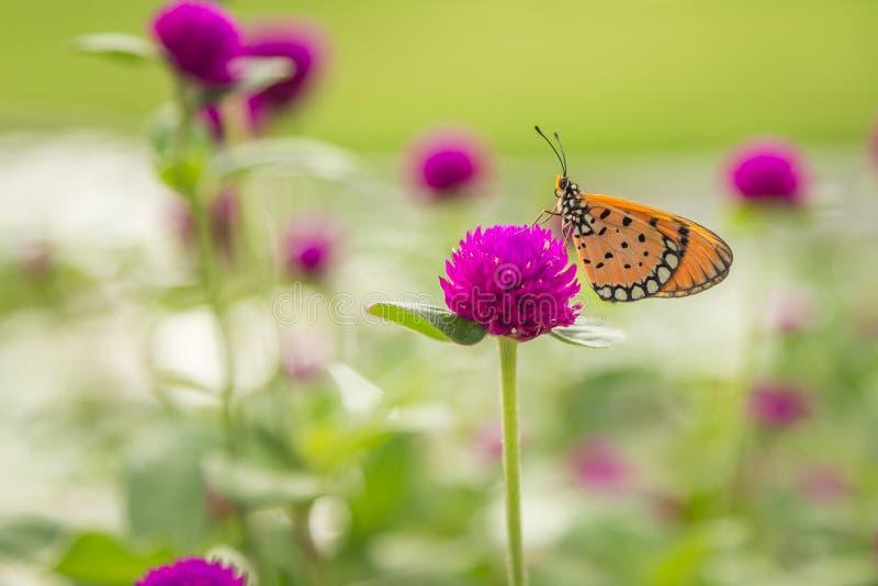 Бабочка на цветке амаранта глобуса стоковые изображения rf