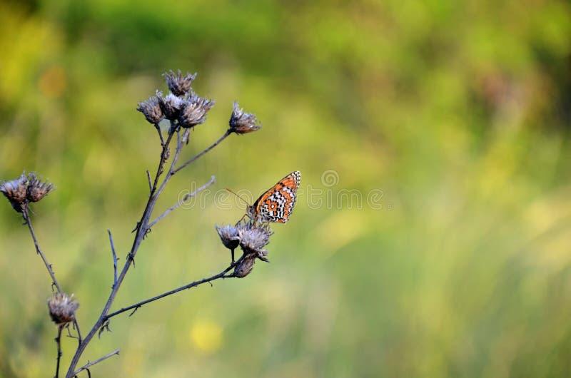 Бабочка на цветке Вид бабочек дня нимфалиды семьи Arduinna Esper Melitaea, 1783 Природа, красота, лето стоковая фотография