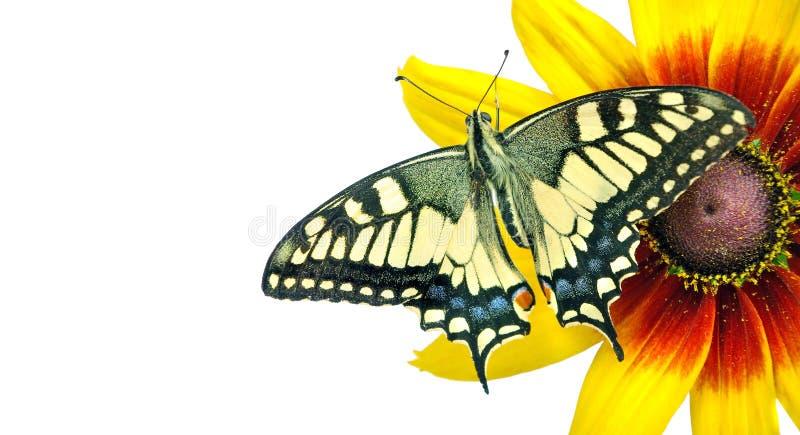 Бабочка на цветке изолированном на белизне Цветок Gerbera r космосы экземпляра стоковое изображение rf