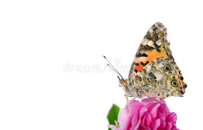 Бабочка на цветке красивая бабочка покрасила даму на цветке изолированном на белизне космосы экземпляра роза и бабочка стоковое изображение