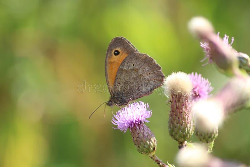 Бабочка на Thistle стоковые фото