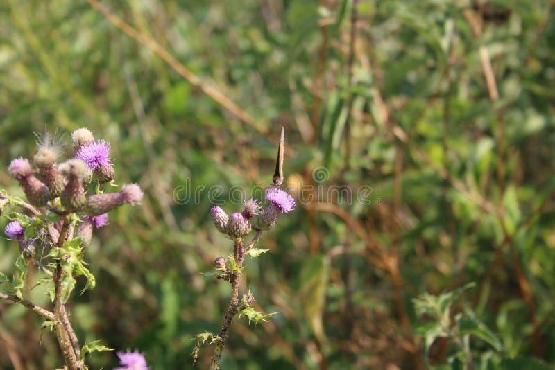 Бабочка на Thistle стоковые изображения rf