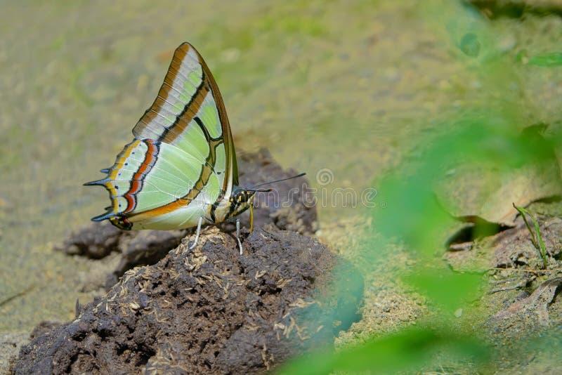 Бабочка нимфалиды стоковые изображения