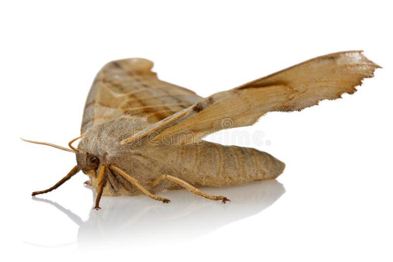 Бабочка ночи на белой предпосылке стоковое фото