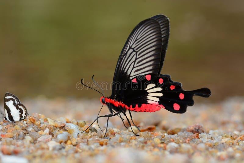 Бабочка общего розовая стоковые изображения