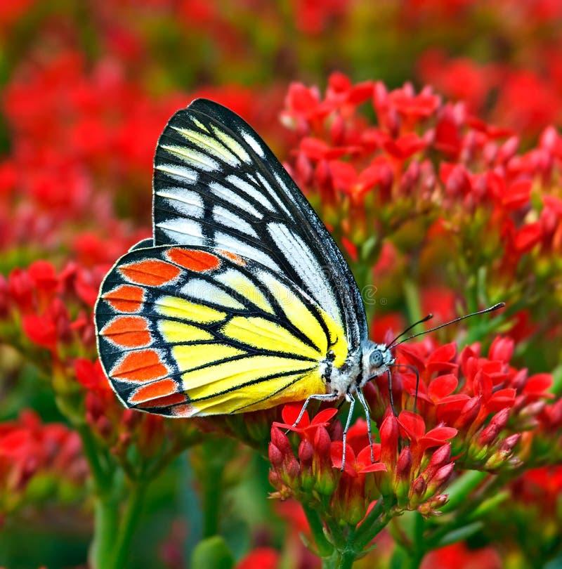 Бабочка общие jezebel или eucharis Delias среди красных цветков стоковые изображения
