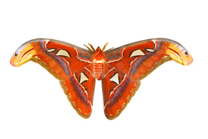 бабочка огромная стоковая фотография rf