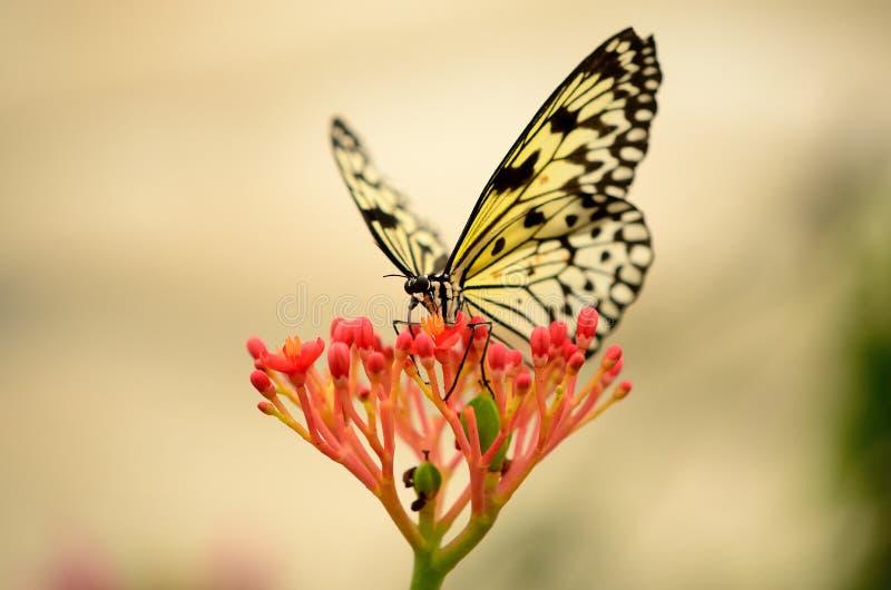 Бабочка освещенная задней частью на красном цветке стоковые изображения rf