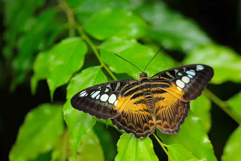 Бабочка от Малайзии и Борнео красивейшие листья Бабочка клипера, Parthenos sylvia, сидя на зеленых листьях Насекомое внутри стоковые фотографии rf