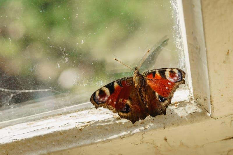 Бабочка павлина сидя на старых оконной раме и смотреть стоковая фотография