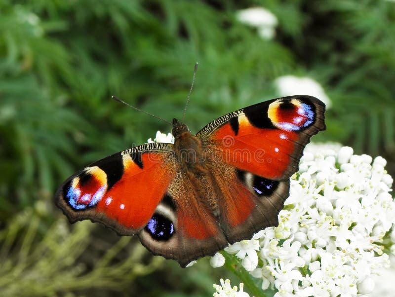 Бабочка павлина, Aglais io стоковые изображения rf