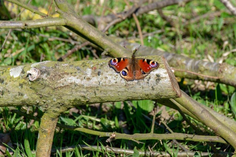 Бабочка павлина & x28; Io& x29 Inachis; отдыхать на деревянном журнале со вне st стоковая фотография rf
