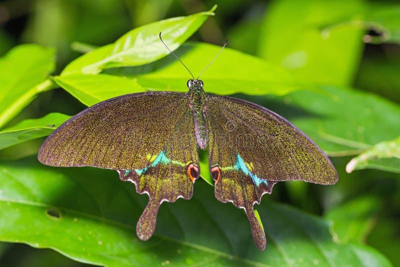 Бабочка павлина Парижа стоковая фотография