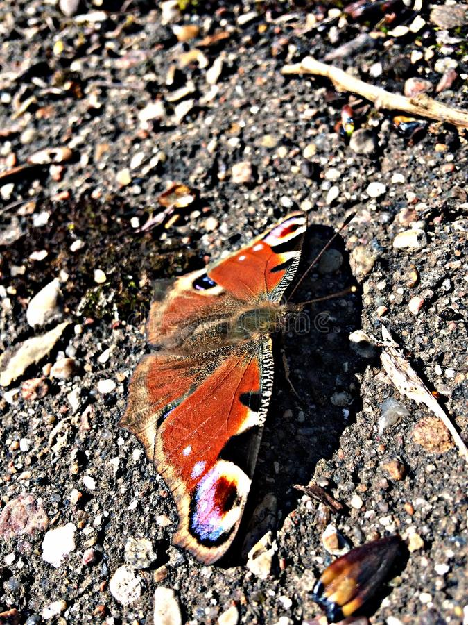 Бабочка павлина стоковое изображение rf