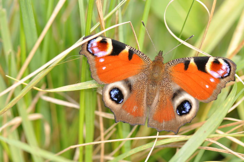 Бабочка павлина стоковые изображения rf