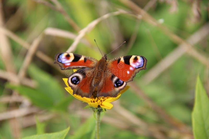 Бабочка Пейсли на желтом цветке стоковое фото rf