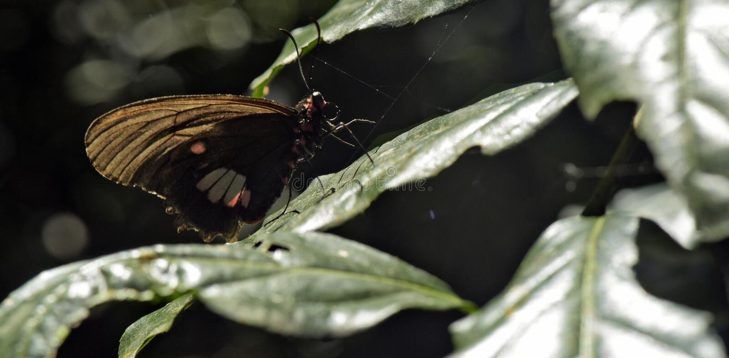 Бабочка передразненная на темной предпосылке леса стоковое фото