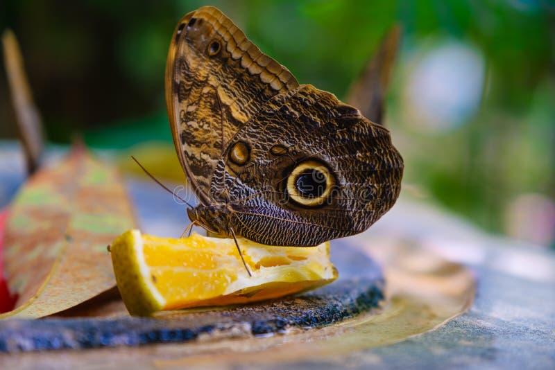 Бабочка питаясь на апельсине стоковые фотографии rf