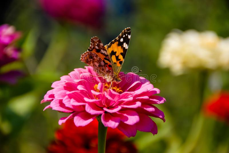 Бабочка питаясь на большом розовом цветке с запачканной предпосылкой стоковые изображения rf