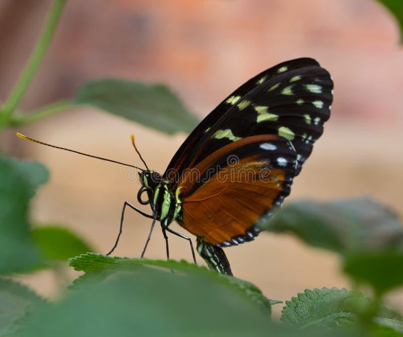 Бабочка при при высасыватель свернутый вверх стоковое фото