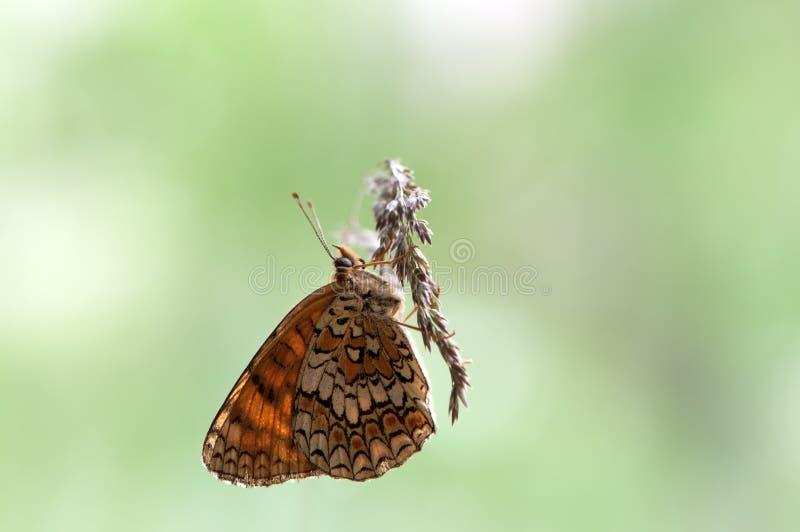 Бабочка рода Melitaea Shashechnitsa сушит вне рано утром стоковые изображения rf