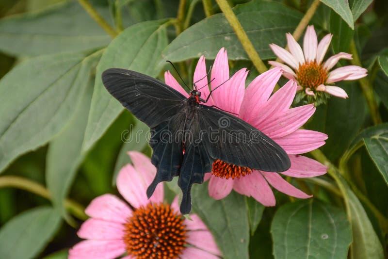 Бабочка Розы пинка отдыхая на цветке конуса стоковые изображения