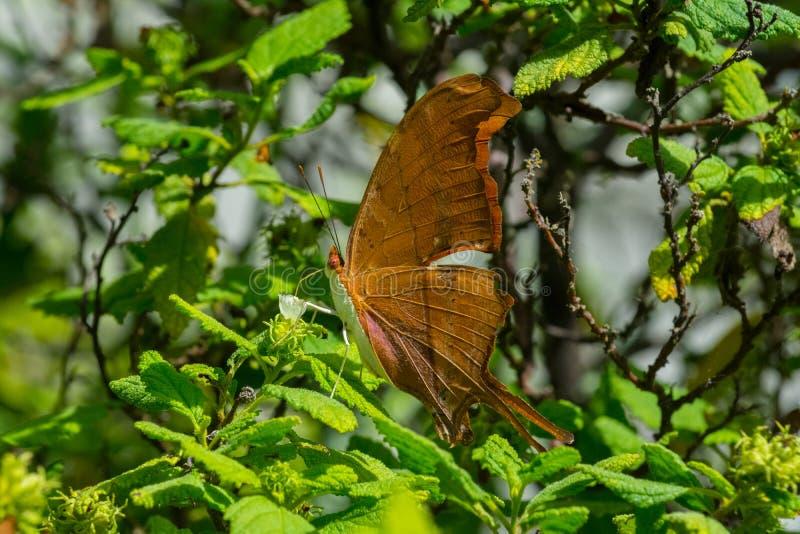 Бабочка - румяное Daggerwing - взгляд со стороны вида спереди стоковое изображение