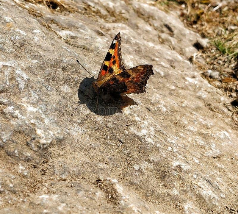 Бабочка сидя на утесе стоковые фотографии rf