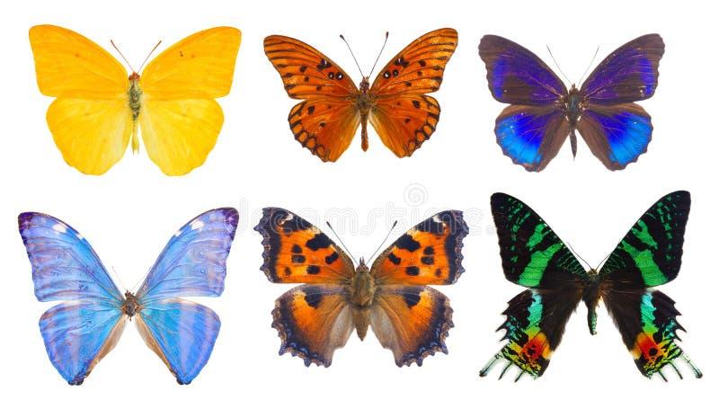 бабочка сини Адониса morpho стоковые изображения rf