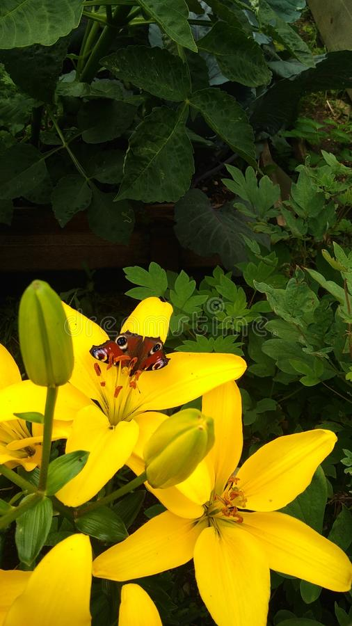 Beautiful butterfly on a yellow Lily Bush. Random frame. Butterfly `urticaria` landed on a Bush blooming yellow - Sunny lilies stock images