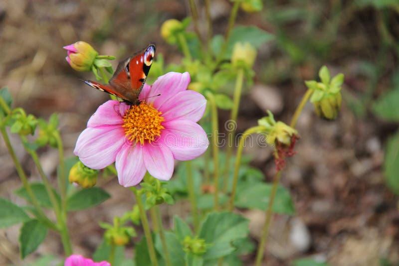 Бабочка собирает цветок в парке (Франция) стоковая фотография rf