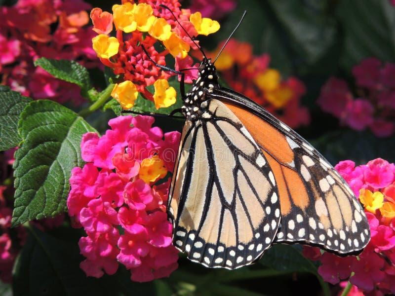 Бабочка среди ярких цветений цветка стоковые изображения rf