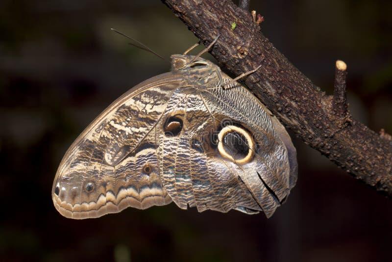 Бабочка сыча одичалая в Коста-Рика стоковая фотография