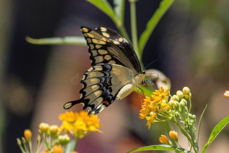 Бабочка с оранжевым цветком стоковые фотографии rf